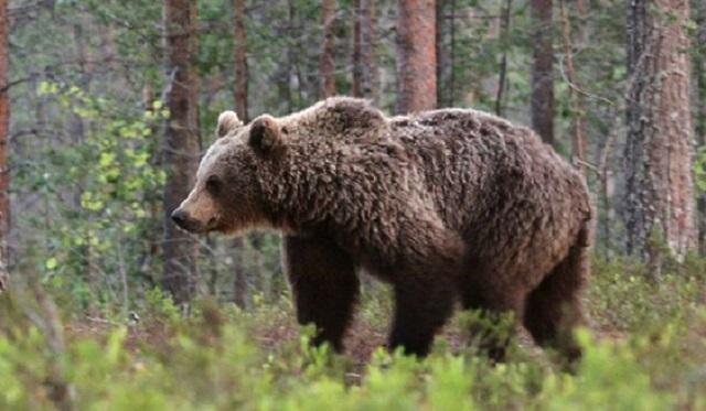 Slovaquie: Un cycliste poursuivi par un ours!