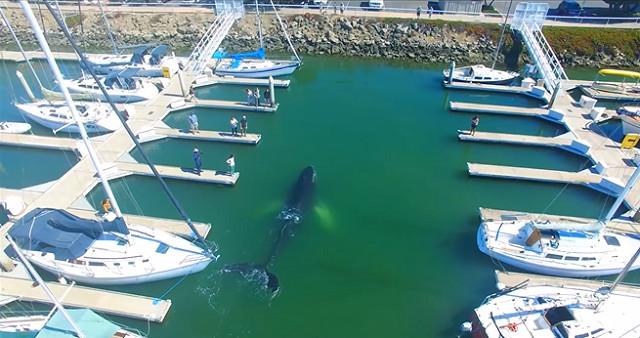 VIDEO: Une baleine piégée dans un port près de Los Angeles