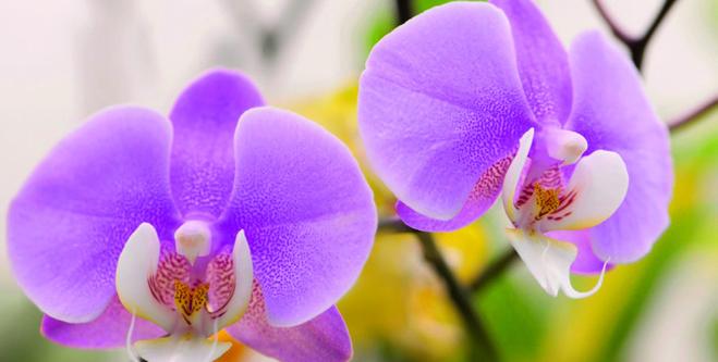 L'Orchidée Phalaenopsis