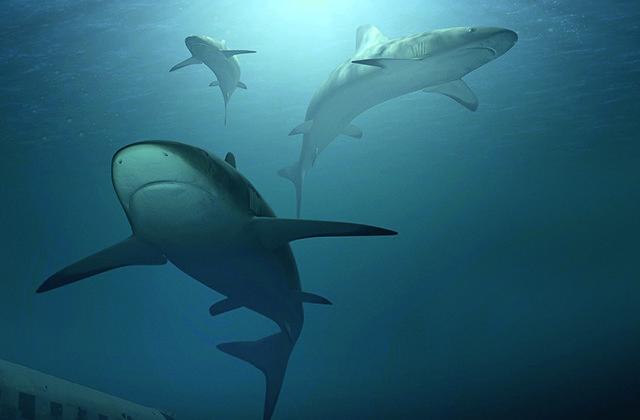 Bilan des prélèvements de requins