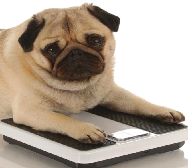 Prévenir et combattre l'obésité canine