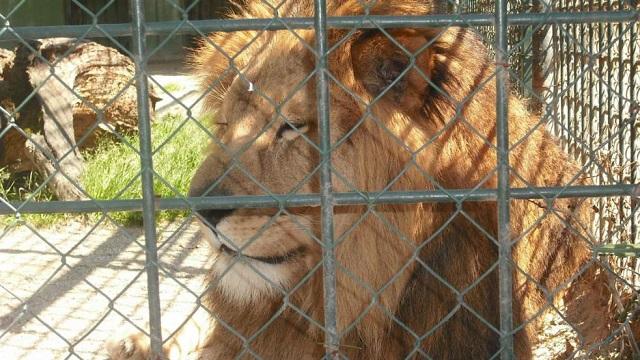 Un lion attaque son dresseur en plein spectacle