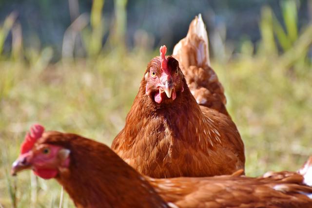 Bilan positif pour les poules