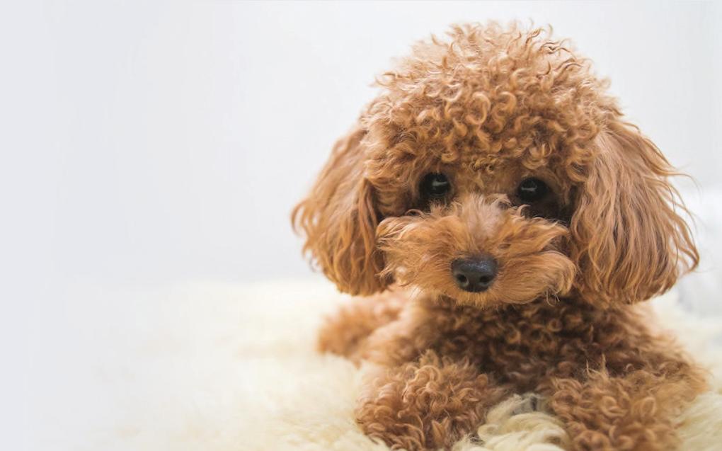 Les particularités des toys, des chiens version mini