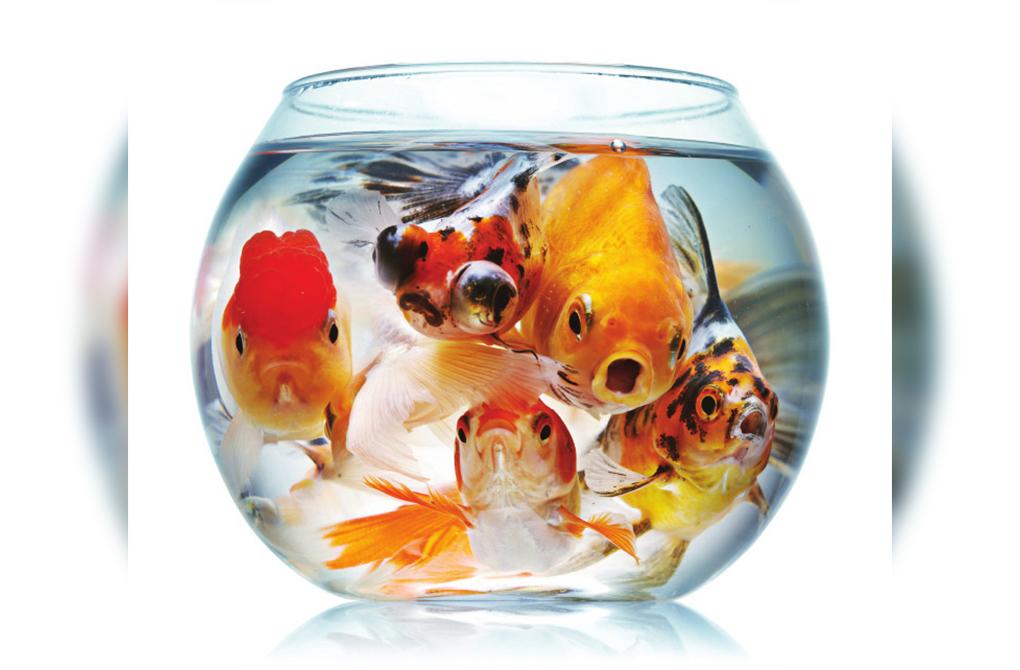 La triste vie du poisson rouge en bocal