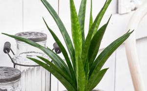 Des plantes increvables !