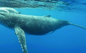 Les baleines à la trace