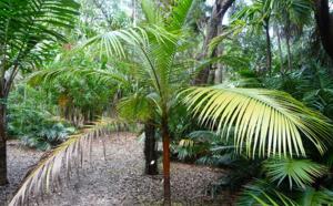 Sauver le palmiste péi