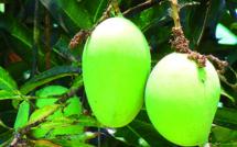 Inquiétante mouche des fruits